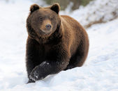 Bear in winter — Stock Photo