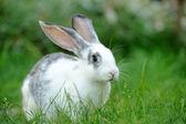 獭兔 — 图库照片