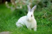 ウサギ — ストック写真