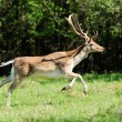 Fallow deer — Stock Photo #40955449