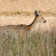 Deer in autumn field — Stock Photo #40955499