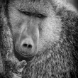 Olive baboon — Stock Photo #42725237