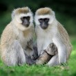 Vervet monkey — Stock Photo #42725819