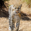Leopard — Stock Photo #42725829
