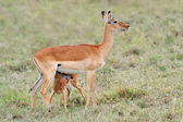 Baby impala with his mother — Stock Photo