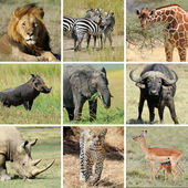 African animal collage — Stock Photo