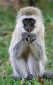 Vervet monkey — Stockfoto