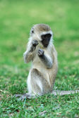 Vervet monkey — Stock Photo