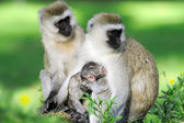 Vervet monkey — Foto de Stock