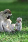 Vervet monkey — Foto Stock