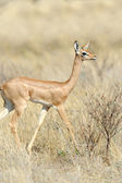 Gerenuk  — Stock Photo