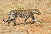 Leopard — Foto Stock