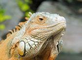 Iguana — Stock Photo