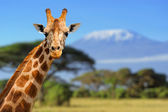 Giraffe in front of Kilimanjaro mountain — Stock fotografie