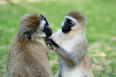 Vervet monkey — Foto Stock