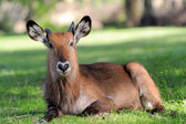 Waterbuck — Foto de Stock