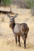 Waterbuck — Stock fotografie