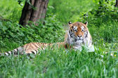 Amur Tigers — Stock Photo