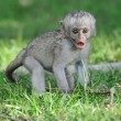 Baby Vervet Monkeys — Stock Photo #48119753