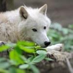 Arctik wolf — Stok fotoğraf