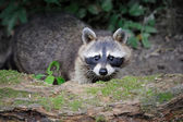 Raccoon — Stockfoto