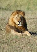 Lejon — Stockfoto