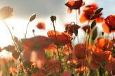 Vahşi haşhaş çiçeği — Stok fotoğraf