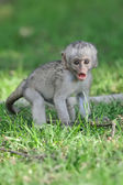 Baby Vervet Monkeys — Stock Photo