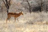 Impala — Stock Photo