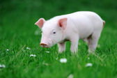 Young pig in grass — Stock Photo