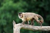Kapucijnen aap — Stockfoto