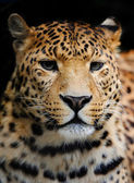 Leopardo — Fotografia Stock