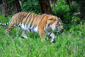 Tiger — ストック写真