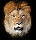 Lion portrait — Stock Photo