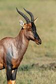 Topi Antelope — Stock Photo