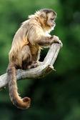 僧帽猴 — 图库照片