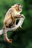 Macaco-prego — Foto Stock