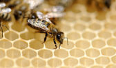 Close up view of the working bees — Stock Photo
