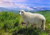 Sheep in mountain — Stock Photo