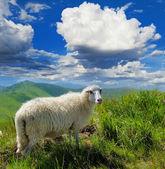 Ovejas en la montaña — Foto de Stock