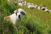 Sheepdog and sheep — Stock Photo