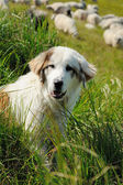 Sheepdog and sheep — Stockfoto