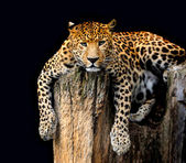 Leopard Isolated on black background — Stock Photo