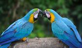 Parrot bird (Severe Macaw) — Stock Photo