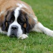 Saint bernard puppy — Stock Photo #50280571
