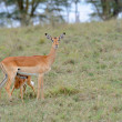 Baby impala with his mother — Stock Photo #50280575