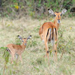 Baby impala with his mother — Stock Photo #50280655