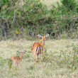 Baby impala with his mother — Stock Photo #50280659
