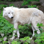 ������, ������: Arctic Wolf