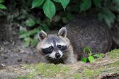 アライグマ — ストック写真